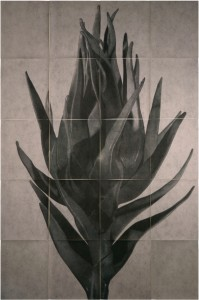 Cynara Cardunculus II
