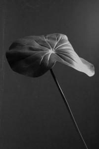 Hoja Lotus