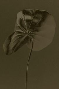 Hoja Lotus Solarizada