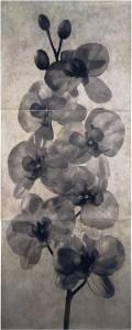 Orquidea II: Phaleanopsis