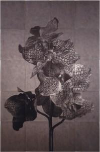 Orquidea: Phaleanopsis