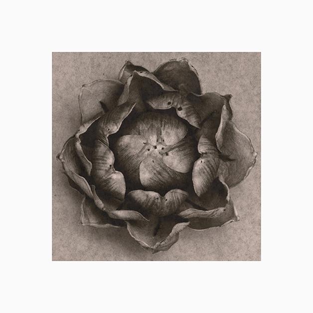 Sergio.Zavattieri.Lotus.Flower