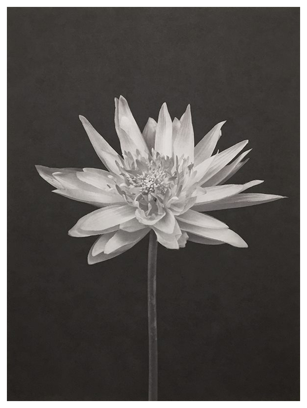 lotus-flor-ii
