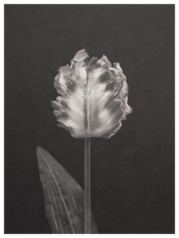 tulipan-ii